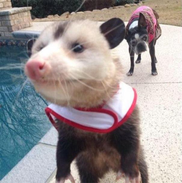 Может ли опоссум быть домашним животным (10 фото). Завести дома опоссума - это возможно.
