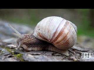 Grape snail. Helix pomatia. Виноградная улитка
