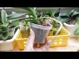 Орхидея: Миниатюрная ванда растит цветос.