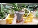 Орхидея Миниатюрная ванда растит цветос.