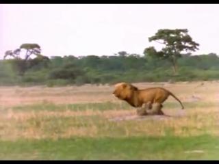Лев убивает Гиену - Жесть!!! ( lions kill hyenas )