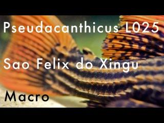 Macro - Pseudacanthicus sp. L025 - Sao Felix do Xingu