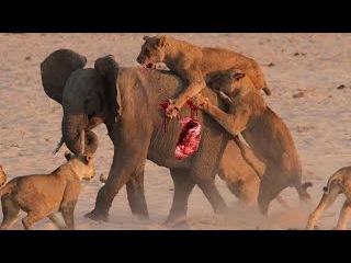 Cuộc chiến Động Vật Mới nhất 2016  ✦Trâu,Sư tử,Khỉ,Linh Cẩu✦ Không xem phí cả đời - lion vs elephant