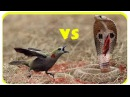 Animal attack Prey Fight back Bird vs King cobra - eagle kill snake - Con mồi giết chết rắn độc