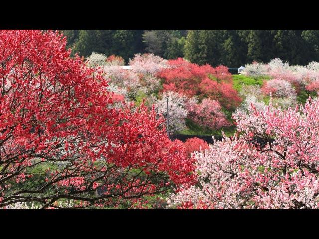 JG 4K 長野 花桃の里 Nagano,Peach Flowers at Hanamomo no Sato