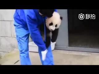 В Китае смотритель парка чистит панду, которая совсем не сопротивляется