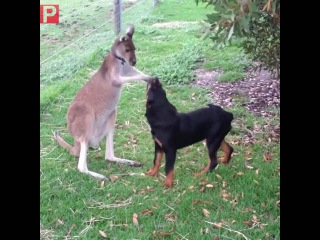 The kangaroo loves his new puppy!