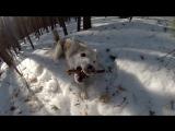 Собака, которая любит рычать