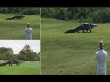 Гигантские аллигатор гуляет по полю для гольфа (Флорида,США)