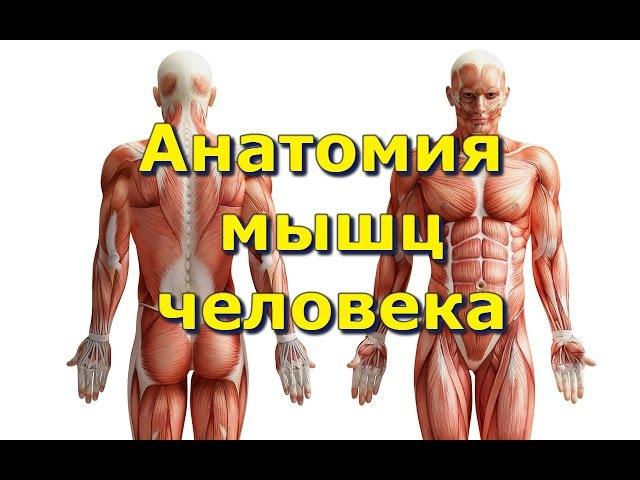 Анатомия Мышц. Места крепления. Функции. fyfnjvbz vsiw. vtcnf rhtgktybz. aeyrwbb.