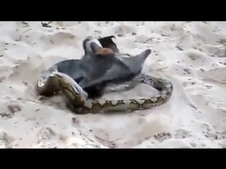 Летучая лисица смогла выбраться из смертельных объятий питона