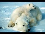 Planet Earth  Polar Bear
