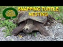 Snapping Turtle Nesting – Econo Challenge