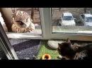 О том, как мы с совой мучаем котов. Филин Ёль и кот Мурлок.