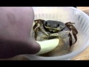 Pet crab eating Banana