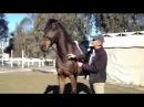 озвучено Работа с пугливыми лошадьми -- расслабление