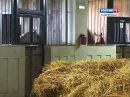 Один день с арабской лошадью ГТРК «Ставрополье»