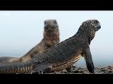Настоящий триллер: Детёныш игуаны убегает от змей
