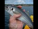Рыбалка в черном море ловля ставриды ловля голяка