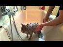 Как мыть кота.Британский кот моется.