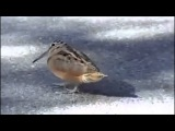 Proud Bird (chito gvrito by Gela Guralia)