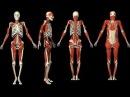 Интересные факты о нашем теле - Мускулы и кости