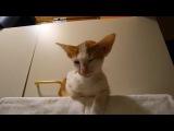 Ориентальная кошка нам песню поет