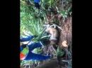 Спасение свиноварана от молодого сетчатого питона