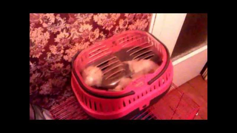 Моя крысо-стайка | запуск после чистки клетки. (включи субтитры!)