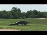 #Гигантский #аллигатор замечен на поле для гольфа во Флориде
