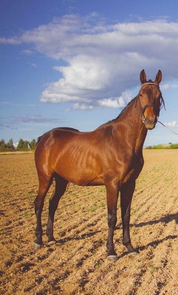Ищу спортсмена на молодого коня . Требования : опыт с молодыми лошадьм