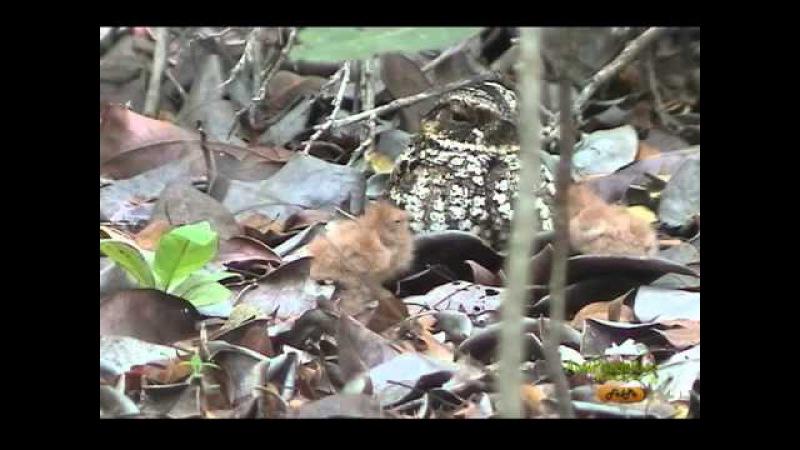 Пуэрториканский козодой Puerto Rican Nightjar Antrostomus noctitherus
