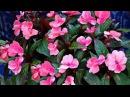 Комнатные цветы Выращивание и уход Ч 15 Бальзамин