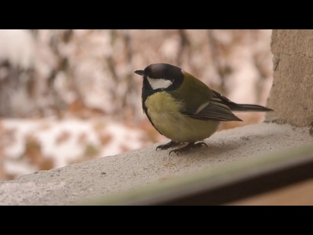 Titmouse eating seeds | синички кушают