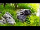 Black Neon Tetra feeding Glassworm Karmienie Neonów czarnych Wodzień
