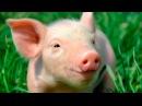 Смешные поросята Funny pigs Подборка приколов