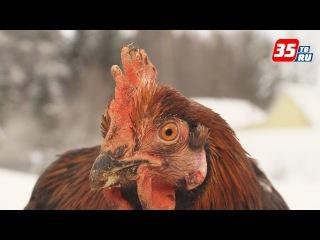 Красный петух из Череповецкого района перед Новым годом смирил свой нрав