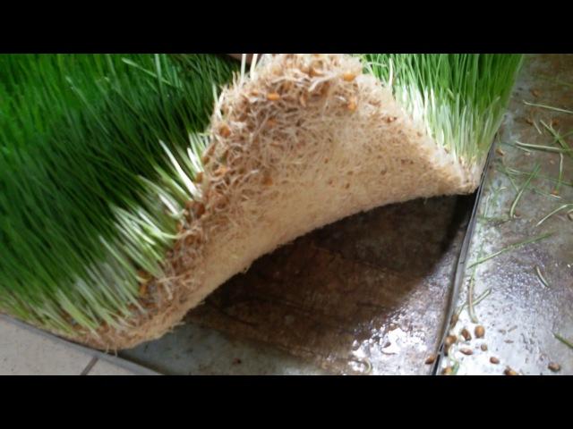 Гидропоника как корм животным.