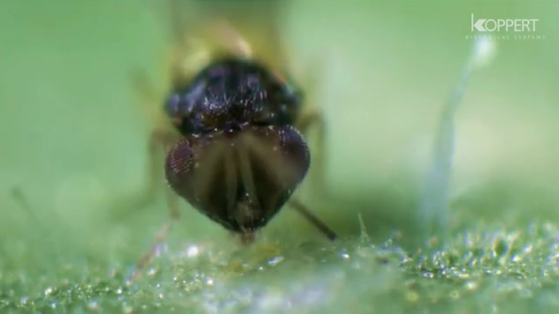 Encarsia formosa- Biological control of whitefly