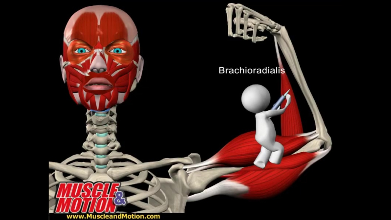 The Pump - Biceps Brachii in Motion
