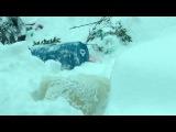 Белый медведь валяется в снегу