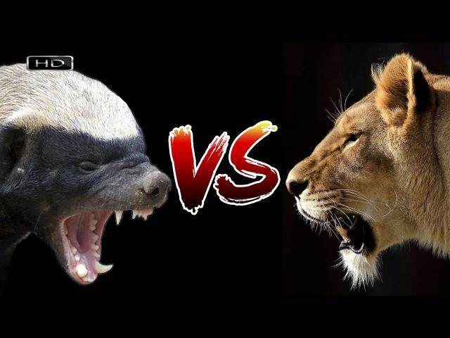 Злобный оборотень против царя зверей - Медоед против Львов