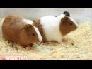 Морские свинки. Домашние морские свинки видео. Грызуны.