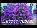 Цветет сирень группа САДКО