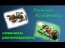 Formica Rufibarbis советую всем новичкам