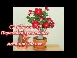 Adenium Obesum пересадка купленных растений. Как пройти адаптацию