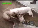 Собачьи бои 18+ Стафф vs Бультерьер