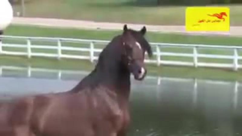 الحصان العربي الاصيلtori at arab tukimi.240