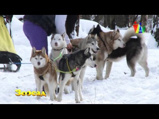 ЗООСАД: Хаски. Легко ли жить ездовым собакам в городе?