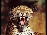 Леопарды убийцы В поисках людоеда / Killer Leopards